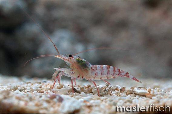 Cleaner Shrimp kuekenthali