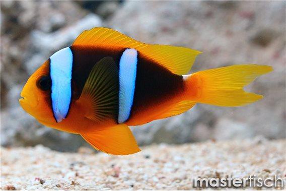 Orangefin anemonefish Micronesia