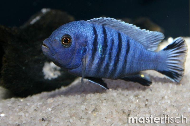 White top afra cichlid masterfisch for Malawi buntbarsch