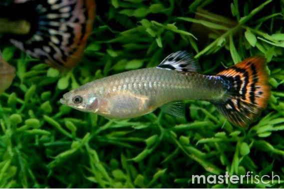 Multicolour cobra Guppy