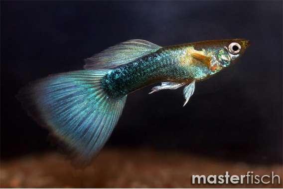 Blue Neon Guppy (Female)