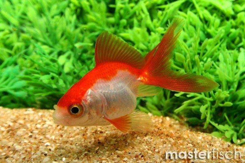 red fantail goldfish - 568×379