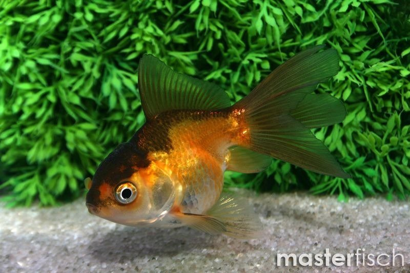 red fantail goldfish - 800×533