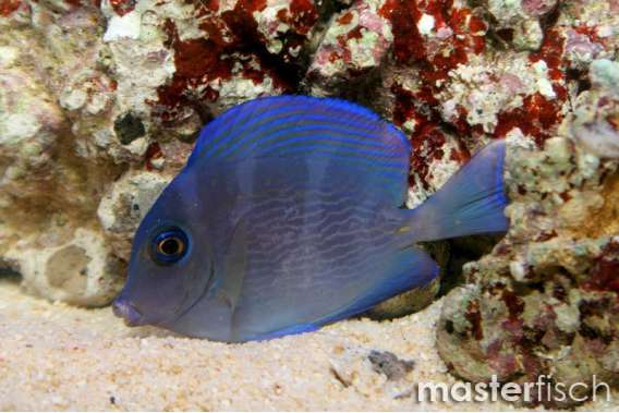 Blue Atlantic Tang juvi
