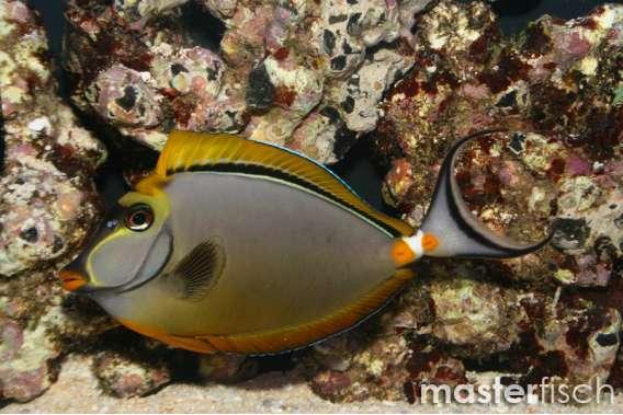 Indian Orange-spine Unicornfish