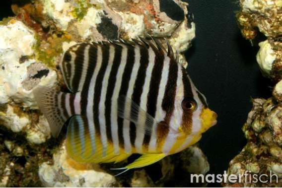 Multy-barred Angelfish