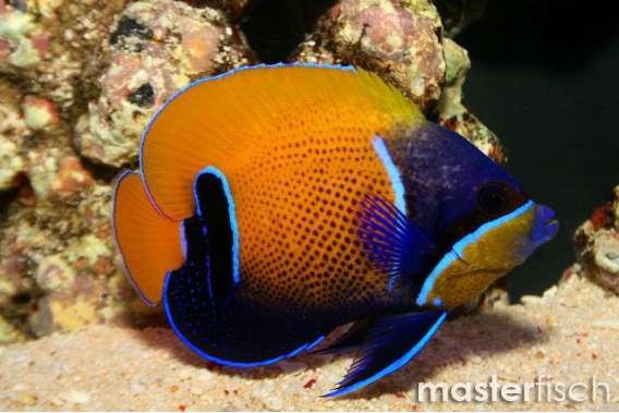 Blue-Girdled Angelfish Juvenile