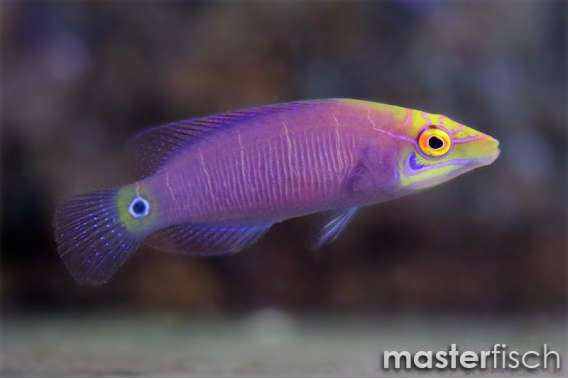 Five Bar Mystery Wrasse