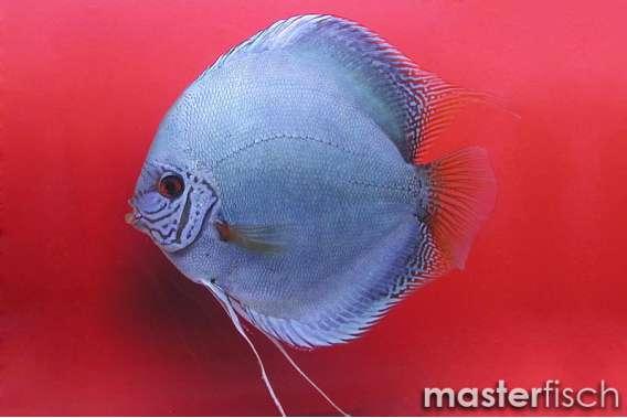 Stendker Discus Cobalt