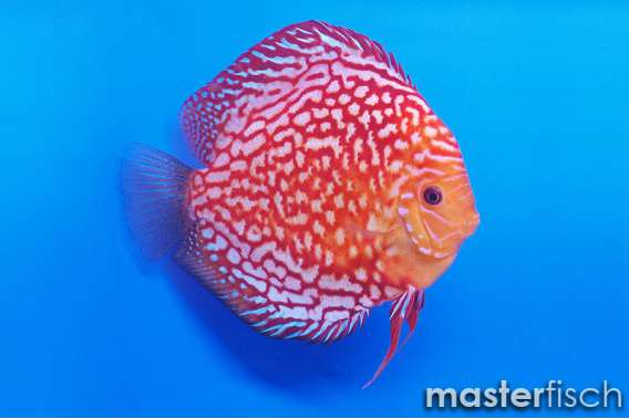 Stendker Discus Pigeon Blood red