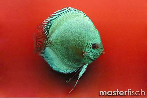 Stendker Discus Solid Turquoise