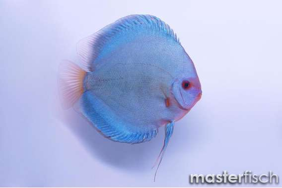 Stendker Discus Blue Diamond II