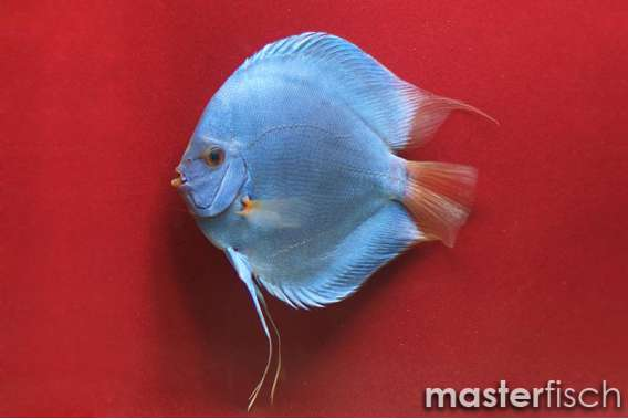 Stendker Discus Blue Diamond I