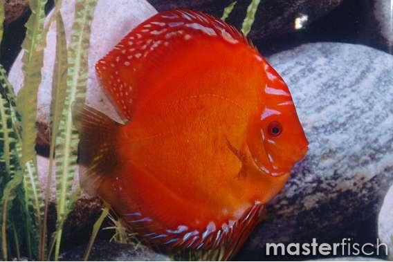 Stendker Discus Marlboro red