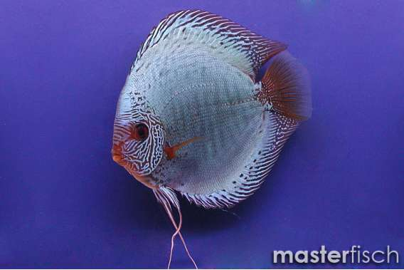 Stendker Discus Solid x Snake