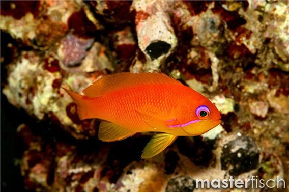 Lyretail Anthias (Maldive)