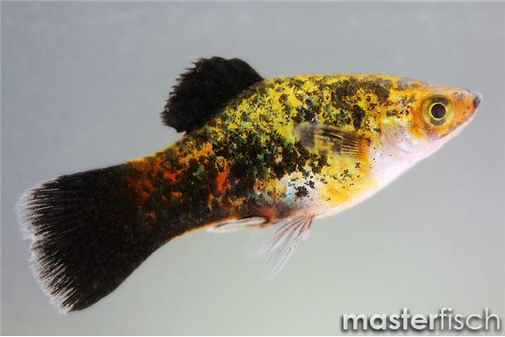 Platy neon green calico