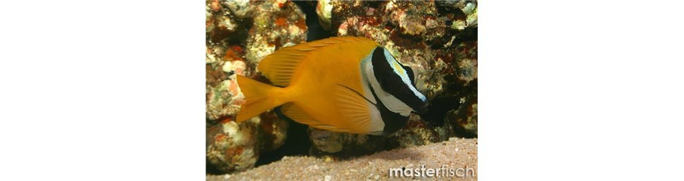 Rabbitfish / Foxfaces