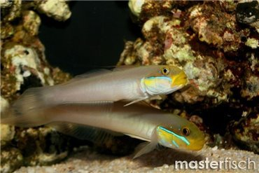 Blennies et gobies