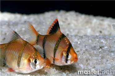 Freshwater fish - Buy tropical fish online - Aquatic shop - MasterFisch